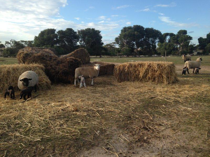 Lambing ewes in hay 2017