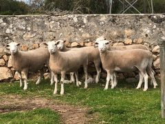 Bendigo-sale-ewes