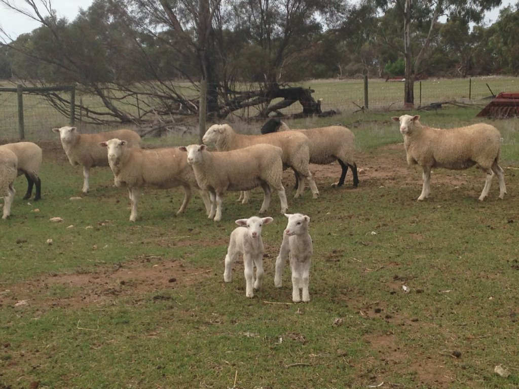 show ewes & fostered lambs 2017