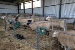 AI & ET ewes in shed 2017