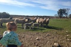 Chloe feeding ewes 2017