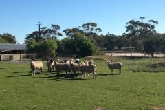 show ewes 2017